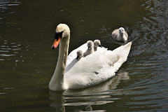 The swan family 2021