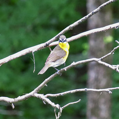 Yellow-breasted chat - bad mood