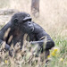 Chimp in the grass
