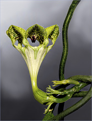 African Parachute Plant Blossom