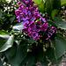 Neighbor's Early Lilac