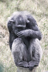 Shy Chimp