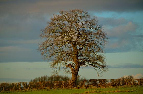 Lone Tree near Gnosall