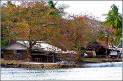 St.Lucia : Due badamiers espongono le foglie rosse