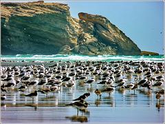 Taqah : Scuola di nuoto - Gli adulti accompagnano i piccoli ad affrontare il mare. I piccoli sono quelli col piumaggio più scuro in primo piano.