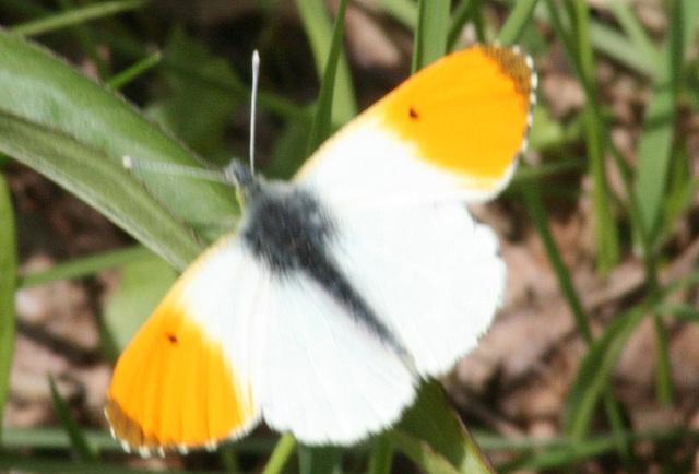 Orange-tip Butterfly (Anthocharis cardamines) 08 Male M 2