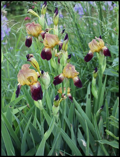 Iris ancien (2)