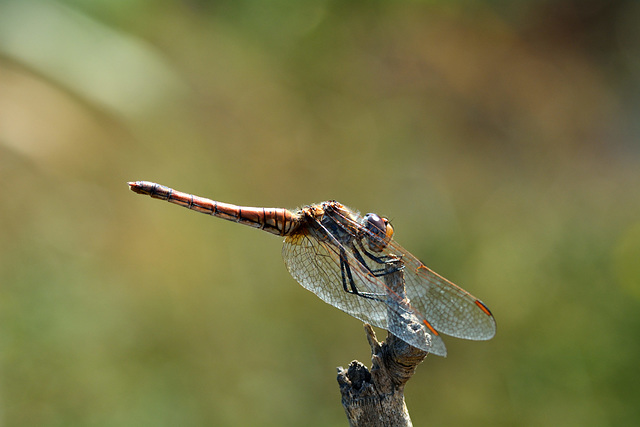 Red-veined Darter (Sympetrum fonscolombii) 6