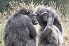Conspiratorial Chimps