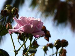 rosa malva sotto le palme