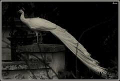 Impérial oiseau