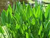 Pickerel weed