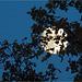 full moon behind oak tree