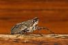 Interessantes Insekt - Käferzikade