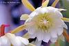 Epiphyllum oxypetalum 232 copy 2