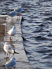Gulls standing