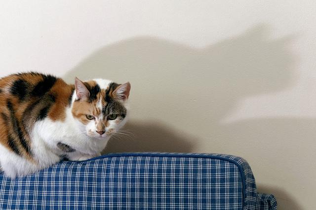 Chatte couchée, ombre portée