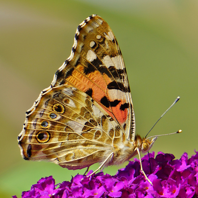 Vanessa cardui - Ein weitgereister Migrant - A widely travelled migrant