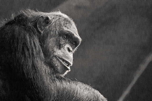Chimp Noir