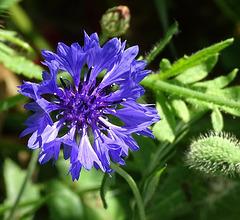 ...coquelicots et bleuets sont les premières fleurs qui ont poussé sur les tranchées...