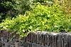 Vine on Wall, Lerwick, Scotland