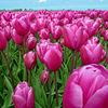 Nederland - Beemster, tulips