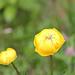 Trollblume mit Spinne