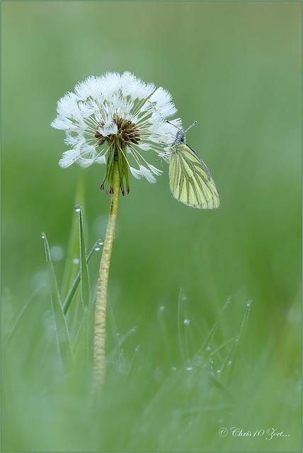 Green-veined White  ~ Klein geaderd witje (Pieris napi) on a Dandelion dot...