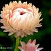 Straw Flower 001 copy