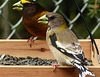 Evening Grosbeaks, male and female