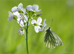 Green-veined White  ~ Klein geaderd witje (Pieris napi) in backlight on a Cuckoo-flower...