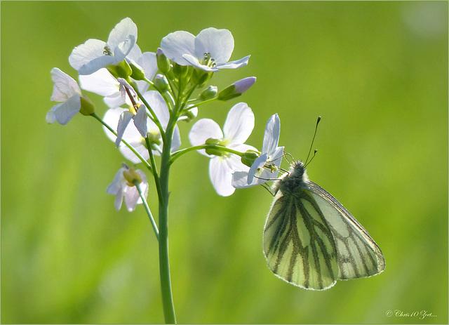 Green-veined White  ~ Klein geaderd witje (Pieris napi) in backlight on a Cuckoo-flower...