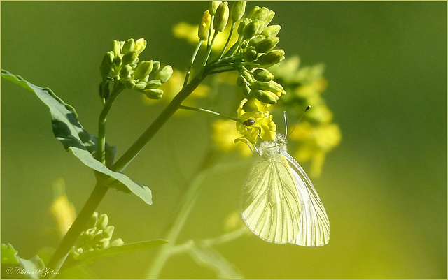 Green-veined White  ~ Klein geaderd witje (Pieris napi) between the Rapeseed...