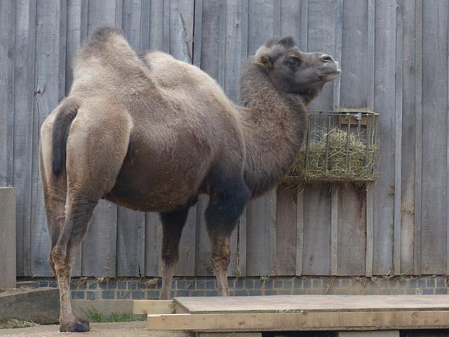 Bactrian Camel (1) - 16 October 2015