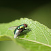 Green Bottle Fly (Lucilia sericata)
