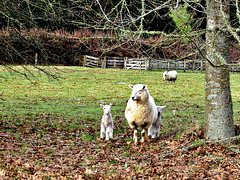 Sheep and Two Lambs.
