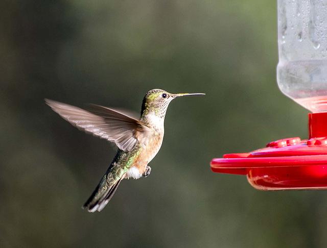 A hovering hummingbird2