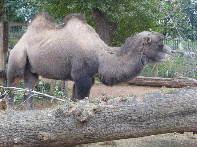Bactrian Camel (2) - 16 October 2015