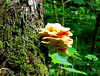 Birch with chicken of the woods...