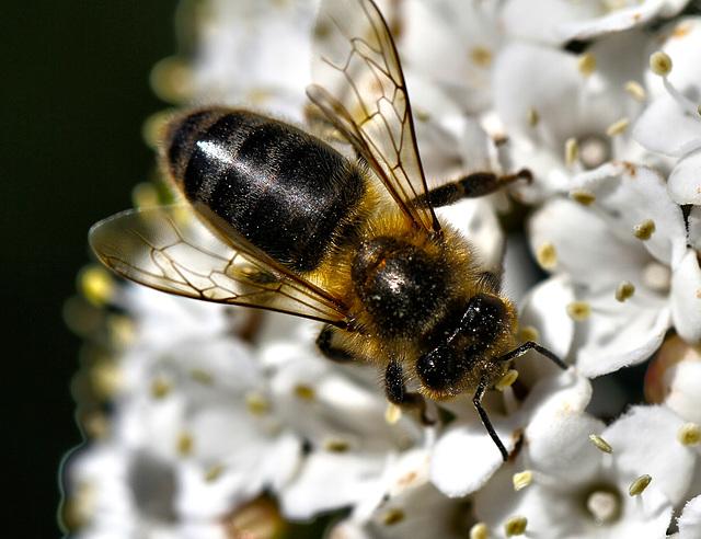 """""""Les hypocrites, comme les abeilles, ont le miel à la bouche et l'aiguillon caché.  """""""