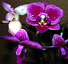 """Happy Rose"" phalaenopsis orchid."