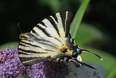 Flambé = Iphiclides podalirius, Parc des Oiseaux, Villars-les-Dombes (Ain, France)