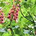 Rosskastinienblüte, horse chestnut,  marronnier d'Inde
