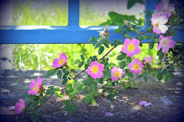 Rosa rubiginosa....   HFF TO ALL