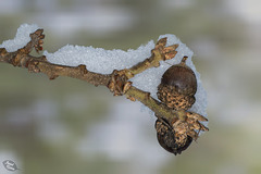 Pictures for Pam, Day 96: Snowy Acorns