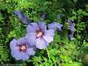 Hibiscus arbustif bleu satin