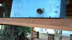 DSCN4531 - abelha bugia Melipona mondury invadindo ninho alheio, Meliponini Apidae Hymenoptera