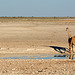 Namibia, Three Giraffes at the Watering Hole in Etosha National Park