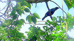 Tui in our trees