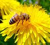 un'ape della fattoria Bronzetta